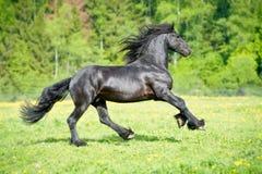 I funzionamenti frisoni neri del cavallo galoppano nell'ora legale Fotografie Stock