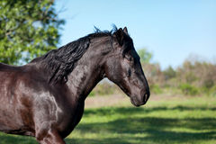 I funzionamenti neri del cavallo trottano contro un fondo vago del campo verde Fotografia Stock