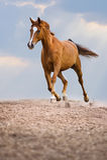 I funzionamenti rossi del cavallo di Trakehner trottano sui precedenti del cielo Fotografia Stock Libera da Diritti