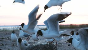 I gabbiani beccano i pezzi di pane su una roccia sul mare nella sera al primo piano del tramonto I gabbiani affamati degli uccell archivi video