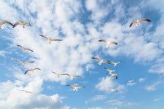 I gabbiani del gruppo stanno volando sul cielo blu della nuvola Fotografie Stock