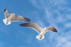 I gabbiani del gruppo stanno volando sul cielo blu della nuvola Immagine Stock Libera da Diritti