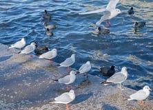 I gabbiani di mare Fotografie Stock