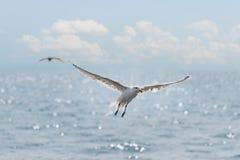 I gabbiani salgono sopra l'oceano Immagini Stock Libere da Diritti