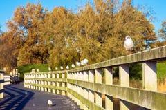 I gabbiani si siedono in una fila sull'inferriata del ponte Fotografia Stock Libera da Diritti