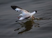 I gabbiani stanno galleggiando nel mare Fotografia Stock