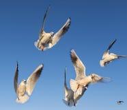I gabbiani stanno volando Fotografie Stock Libere da Diritti