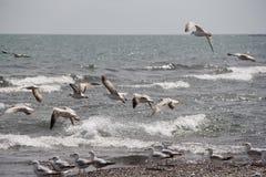 I gabbiani volano alla spiaggia Immagine Stock Libera da Diritti