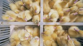 I galli sono ad un'azienda agricola speciale, si siedono in scatole, vista superiore Gli anatroccoli covati si siedono insieme in archivi video