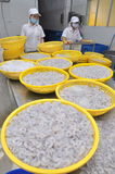 I gamberetti stanno pelare e lavano su prima di ottenere congelati in una fabbrica dei frutti di mare nella città di Quy Nhon, Vi Fotografia Stock