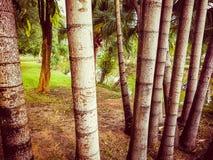 I gambi della palma di betel Immagine Stock Libera da Diritti