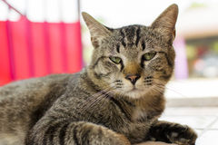 I gatti Fotografie Stock