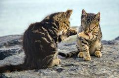 I gatti, gattini svegli sulla spiaggia oscilla Fotografia Stock