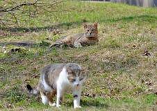 I gatti grigi camminano sul prato inglese, il concetto della molla fotografie stock