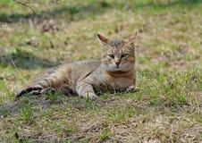 I gatti grigi camminano sul prato inglese, il concetto della molla fotografie stock libere da diritti