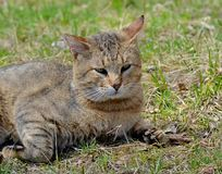 I gatti grigi camminano sul prato inglese, il concetto della molla fotografia stock