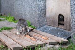I gatti senza tetto mangiano il cibo per gatti Immagini Stock