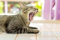 I gatti stanno sbadigliando Fotografie Stock