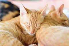 I gatti svegli stanno dormendo insieme Fotografie Stock