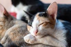 I gatti svegli stanno dormendo insieme Fotografia Stock Libera da Diritti