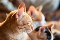 I gatti svegli stanno dormendo insieme Fotografie Stock Libere da Diritti