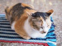 I gatti tailandesi stanno riposando fotografia stock libera da diritti