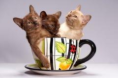 I gattini crescono la Birmania su un fondo leggero immagine stock libera da diritti