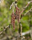 I gattini maschii sul ramo anneriscono l'ontano o il primo piano di alnus glutinosa, il fuoco selettivo, DOF basso Fotografia Stock