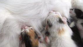 I gattini neonati succhiano il latte da sua madre stock footage