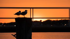 I gemelli Gulls al sole fotografia stock libera da diritti