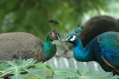 I gemelli sbalorditivi del pavone Fotografie Stock Libere da Diritti