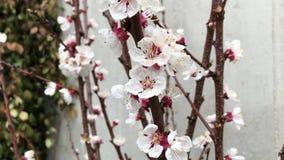I germogli del ciliegio fioriscono vicino sul ramo marrone bianco stock footage