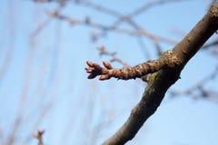 I germogli dell'albero vengono albero vivo e gonfiato Fotografie Stock Libere da Diritti