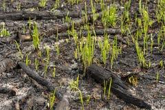 I germogli dell'erba verde germogliano attraverso le ceneri dopo un fuoco in una struttura del fondo della foresta di conifere Fotografia Stock