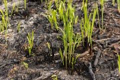 I germogli dell'erba verde germogliano attraverso le ceneri dopo un fuoco in una struttura del fondo della foresta di conifere Immagine Stock