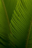 I germogli della cycadaceae del sagù sono così puri e freschi in sole immagini stock