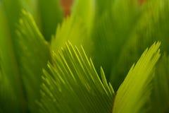 I germogli della cycadaceae del sagù sono così puri e freschi in sole immagine stock
