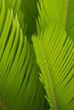 I germogli della cycadaceae del sagù sono così puri e freschi in sole fotografia stock libera da diritti