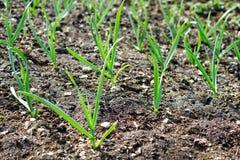 I germogli della pianta si sviluppano dalla terra nel campo sull'azienda agricola out Fotografia Stock