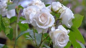I germogli delle rose dopo una pioggia archivi video