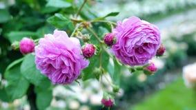 I germogli delle rose porpora I fiori ondeggiano nel vento e nello spostamento alla parte anteriore archivi video