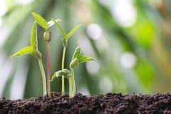 I germogli di fagiolino su suolo nell'orto ed hanno natu fotografia stock libera da diritti