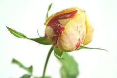 I germogli di fiore di sono aumentato Fotografia Stock Libera da Diritti