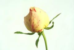 I germogli di fiore di sono aumentato Immagine Stock