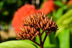 I germogli di un fiore rosso della punta fotografia stock libera da diritti