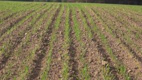 I germogli di verde del grano primaverile nell'agricoltura sistemano 4K archivi video