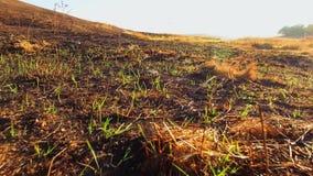 I germogli freschi dell'erba attraversano la terra asciutta bruciacchiata stock footage