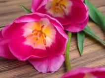 I germogli hanno aperto il primo piano del fiore del tulipano su fondo di legno dai bordi anziani e uno spazio per i messaggi Fon Immagini Stock
