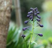 I germogli porpora della speronella fioriscono nel giardino Immagini Stock