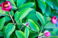 I germogli rosa luminosi della molla fiorisce nel giardino del fiore Fotografia Stock Libera da Diritti